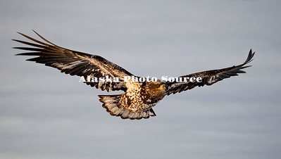 Alaska. Juvenile Bald Eagle (Haliaeetus leucocephalus) in flight, Homer.