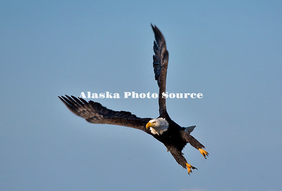 Alaska. Bald Eagle (Haliaeetus leucocephalus) swooping down to get a fish, Homer.