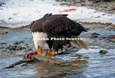 Alaska. Bald Eagle eating chum salmon along the Chilkat River near Haines.