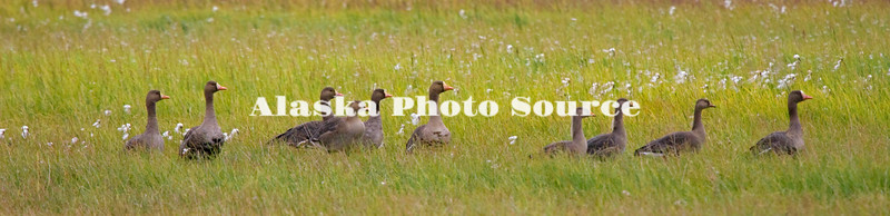 Greater White-fronted Geese grazing on the North Slope near the Beaufort Sea.
