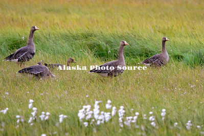 Greater White-fronted Gees grazing on the North Slope near the Beaufort Sea.