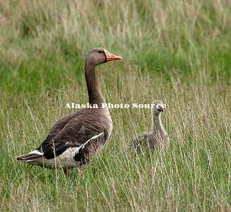 Emperor and White-fronted Geese