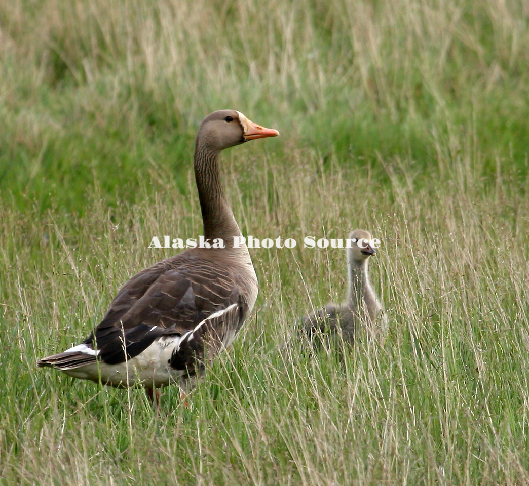 Greater White-fronted Goose with gosling, north slope meadow.