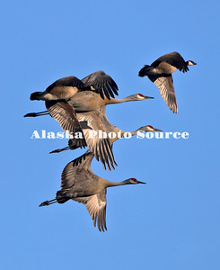 Alaska. Sandhill cranes (Grus canadensis) and Canada Geese (Branta canadensis) flying during spring migration through the Matanuska Valley.