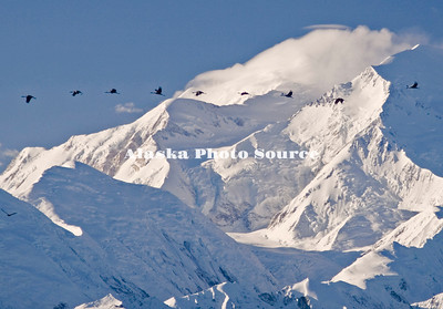 Alaska. Sandhill Cranes (Grus canadensis) migrating past Mt. McKinley in Denali National Park.