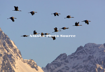 Alaska. Sandhill cranes (Grus canadensis) flying during spring migration through the Matanuska Valley.