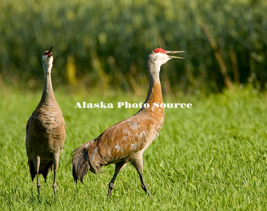 Alaska. Sandhill cranes (Grus canadensis) alarm calling during fall migration through the Matanuska Valley.