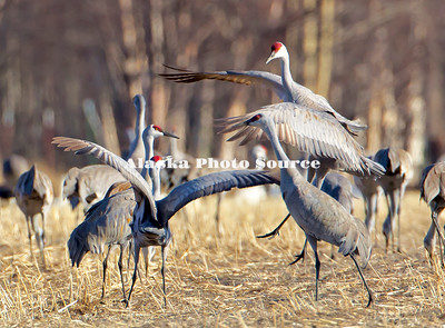 Alaska. Sandhill Cranes (Grus canadensis) displaying for dominance in the flock during a migration stopover on Matanuska Valley fields.