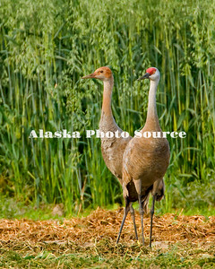 Alaska. Sandhill crane (Grus canadensis) adult and colt feeding during a fall migration stopover in the Matanuska Valley.