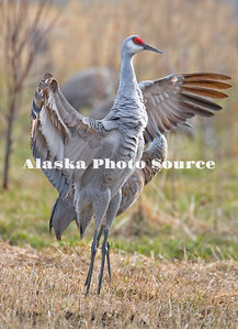 Alaska. Sandhill crane (Grus canadensis) dancing while staging during spring migration in Palmer hay fields.