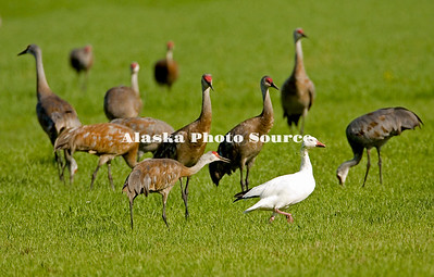 Alaska. Sandhill cranes (Grus canadensis) chasing off a snow goose (Chen caerulescens) during a fall migration stopover in the Matanuska Valley.