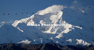 Sandhill Cranes flying in front of Mt. McKinley in Denali Natl. Park & Preserve