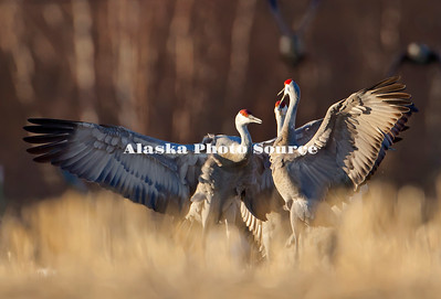 Alaska. Sandhill Cranes (Grus canadensis) displaying for dominance during a migration stopover on Matanuska Valley fields.