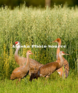 Alaska. Sandhill crane (Grus canadensis) adults and colts feeding during a fall migration stopover in the Matanuska Valley.