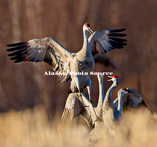 Alaska. Sandhill Cranes (Grus canadensis) dancing and displaying a migration stopover on Matanuska Valley fields.