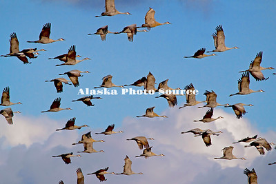 Alaska. Sandhill Cranes (Grus canadensis) in flight during a migration stopover on Matanuska Valley fields.