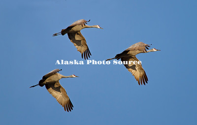 Alaska. Sandhill cranes (Grus canadensis) flying in formation during a migration stopover in the Matanuska Valley.