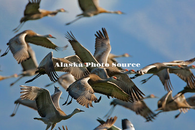 Alaska. Sandhill Cranes in flight during migration.