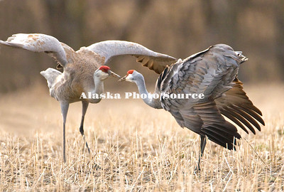 Alaska. Sandhill cranes (Grus canadensis) dancing during spring migration in Palmer hay fields.
