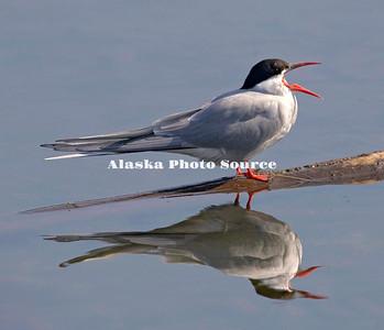Arctic Tern calling, Potter's Marsh, Anchorage.