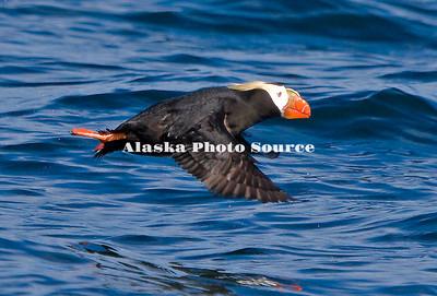 Alaska. Tufted Puffin (Fratercula cirrhata) taking off from the waters off Spuce Island, Kodiak Archipelago.