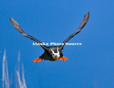 Alaska. Tufted Puffin (Fratercula cirrhata) taking off from an island in the Kodiak Archipelago.