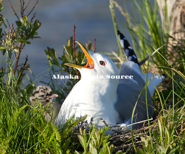 Alaska. Mew Gull (Larus canus) alarm calling with chick at its side, Potter's Marsh, Anchorage.