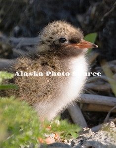 Alaska. Arctic Tern chick (Sterna paradisaea) in a southcentral wetland, Anchorage.