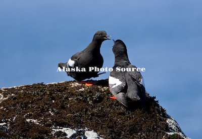 Pigeon Guillemot (Cepphus columbia) courtship rituals on a Kodiak Islet.