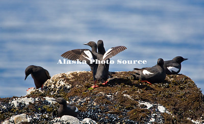 Pigeon Guillemots (Cepphus columbia) rest above the tide on an Kodiak islet.