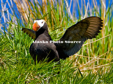Alaska. Tufted Puffin (Fratercula cirrhata) stretching wings before taking off from the waters off Spruce Island, Kodiak Archipelago.