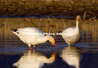 Alaska's Wild Birds