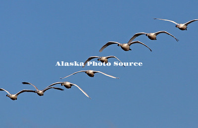 Alaska. Tundra swans (Cygnus columbianus) approaching during migration past the mountains of the Alaska Range, near Delta Junction.