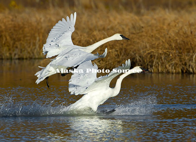 Alaska. Trumpeter Swans (Cygnus buccinator) landing in a Southcentral Marsh during fall migration.
