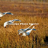 Alaska. Tundra swan (Cugnus columbianus) family landing during a fall migration stopover in a southcentral marsh.
