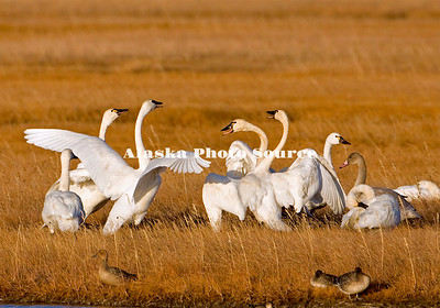 Alaska. Tundra swans (Cygnus columbianus) disputing territory during fall migration staging in the wetlands of Safety Sound, east of Nome, during the trip southward.