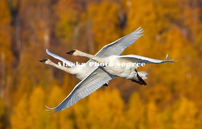 Alaska. Trumpeter Swans (Cygnus buccinator) flying, Alaganik Slough, Cordova.