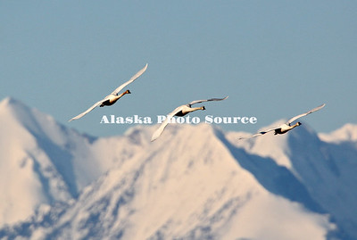 Alaska. Tundra swans (Cygnus columbianus) migrating northward past the mountains of the Alaska Range, near Delta Junction.