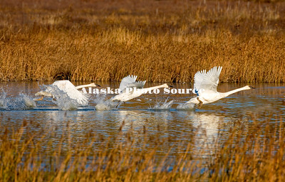 Alaska. Trumpeter swans (Cygnus buccinator) taking-off in unison from a fall migration stopover in a southcentral marsh.