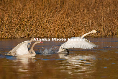Alaska. Tundra Swans (Cygnus Columbianus) family taking off from a fall staging area in a southcentral marsh.