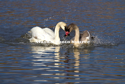 Alaska. Adult Trumpeter Swan (Cygnus buccinator) interacting with its cygnet during a fall migration stopover in  a Southcentral Marsh.