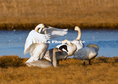 Alaska. Tundra swan (Cygnus columbianus) adults and cygnets exercising their wings while resting in the wetlands of Safety Sound, east of Nome, during fall migration southward.