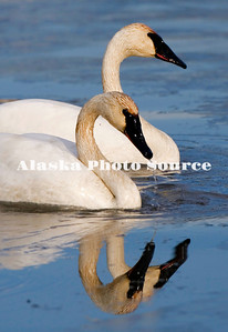 Trumpeter Swans in a southcentral marsh.