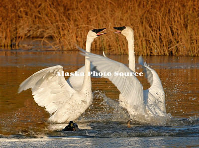 Tumpeter Swans Dance, Potter's Marsh, Anchorage