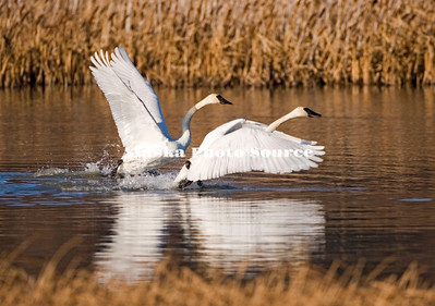 Trumpeter swans taking off from a southcentral marsh.