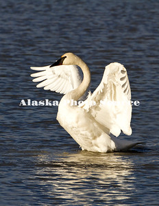 Alaska. Beautiful view of a Trumpeter Swan (Cygnus buccinator) exercising its wings while on a fall migration stopover on a Southcentral Marsh.