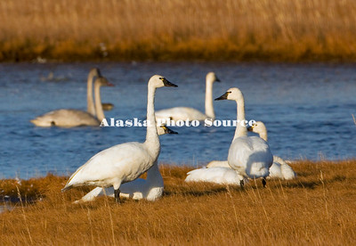 Alaska. Tundra swan (Cygnus columbianus) adults resting as a cordial group in the wetlands of Safety Sound, east of Nome, during fall migration southward.