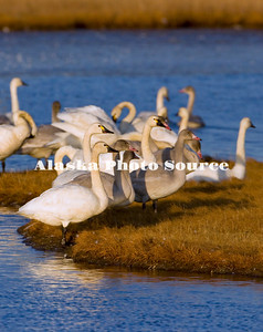 Alaska. Tundra swans (Cygnus columbianus) adults and cygnets resting in the wetlands of Safety Sound, east of Nome, during fall migration southward.