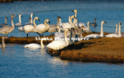 Alaska. Tundra swan (Cygnus columbianus) adults and cygnets resting in the wetlands of Safety Sound, east of Nome, during fall migration southward.