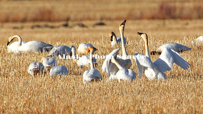 Alaska. Tundra swan (Cygnus columbianus) interaction during spring migration staging in the barley fields of Delta Junction.